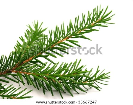 Spruce branch on white background - stock photo