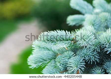 Spruce branch. Winter nature. Fluffy Christmas tree. Blue spruc on a green background - stock photo