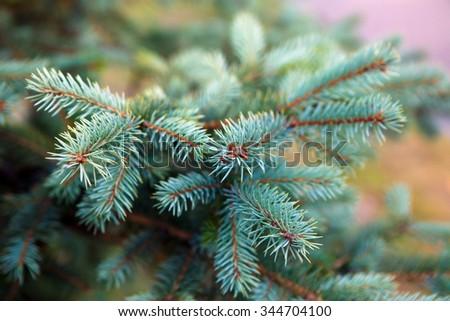 Spruce branch. Winter nature. Spruce needles. Fluffy Christmas tree. Blue spruce. - stock photo