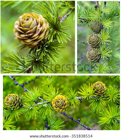 spruce branch with cones. Collage made of fir branches with cones.Pinecones.Cones.Christmas theme.Background made of fir branches with cones.Environmentally friendly product. A park. - stock photo
