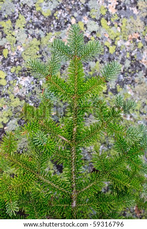 spruce branch with lichen covered rock background - stock photo