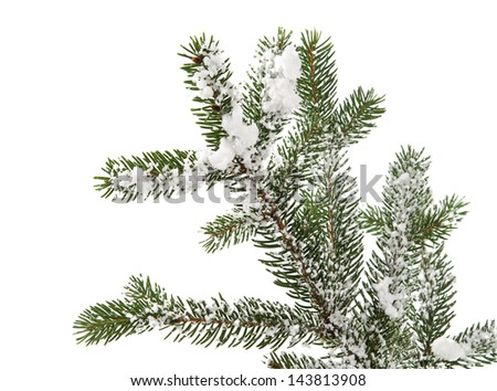 spruce branch with snow on white background - stock photo