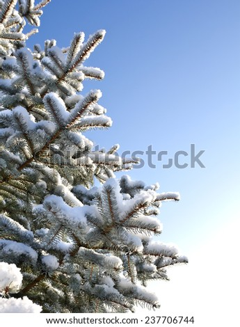 Spruce branches in snow - stock photo