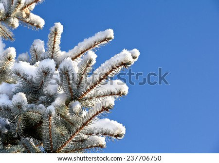 Spruce branches in snow