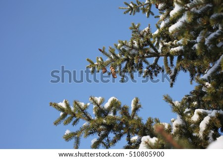 Spruce branches in the snow against the blue cloudless sky