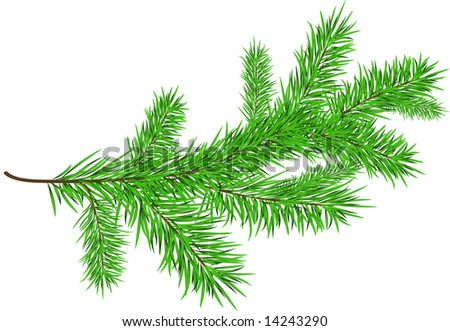 Spruce branches isolated
