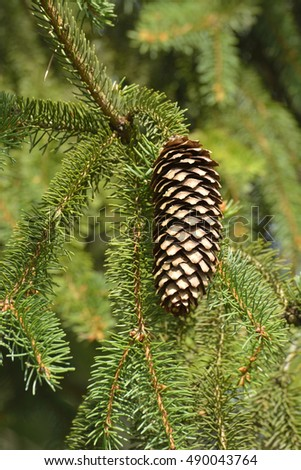 spruce cones on branches waiting for an appropriate pore to sowing seeds