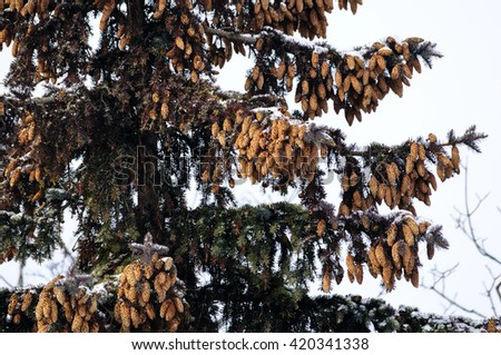 spruce cones on the tree - stock photo