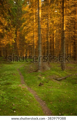 Spruce forest and path golden sunset light