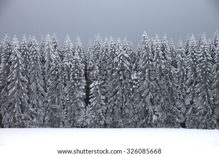 spruce forest in winter - stock photo