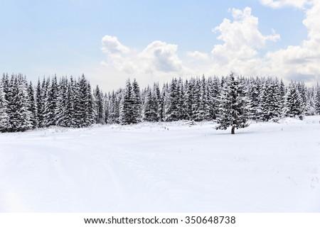 Spruce forest in winter. Winter landscape - stock photo