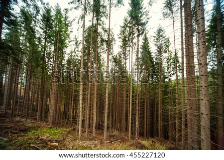 Spruce Forest Landscape. Healthy green trees in a forest of old spruce, fir and pine trees in wilderness of a national park. Ecosystem and healthy environment concepts and background. Europe - stock photo
