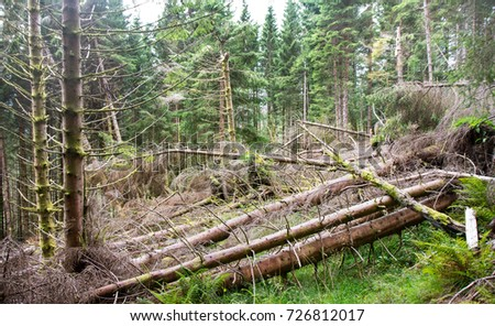 Spruce forest with a lot of fallen trees