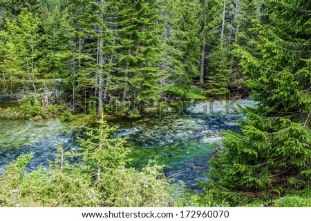 Spruce green forest in Montenegro. - stock photo