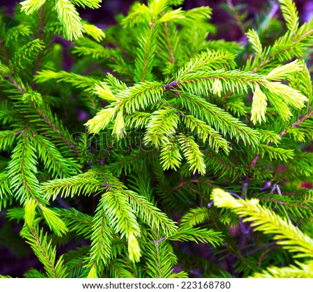 spruce green forest Karelia, Russia - stock photo