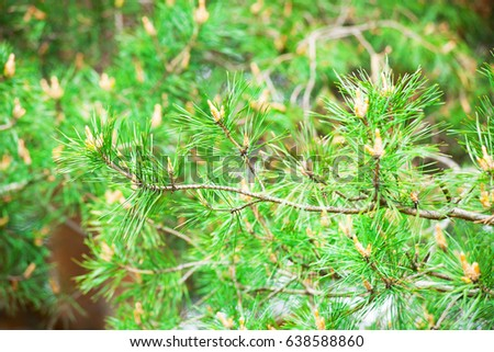 spruce needles with bright green needles in the background