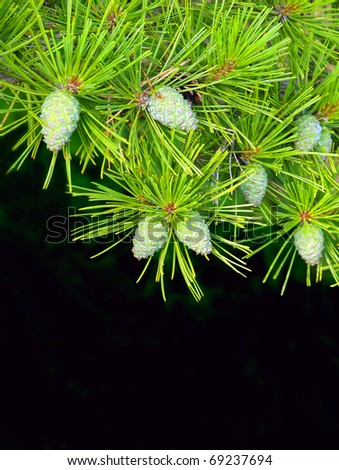 spruce pine branch natural background - stock photo