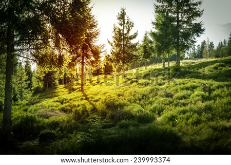 Spruce, pine trees forest glade with sunset in Poland. - stock photo
