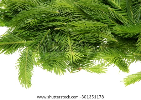 Spruce tips, Piceae turiones recentes, used as a medicinal plant and spruce tip honey, spruce tip syrup