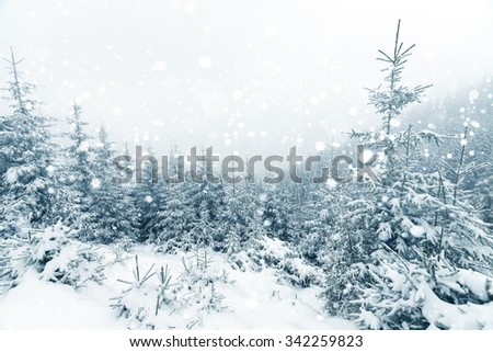 Spruce Tree foggy Forest Covered by Snow