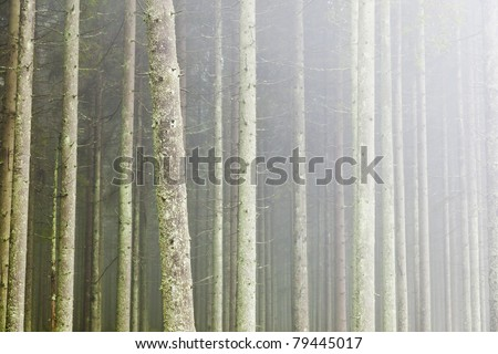 Spruce tree in the forest with morning mist - stock photo