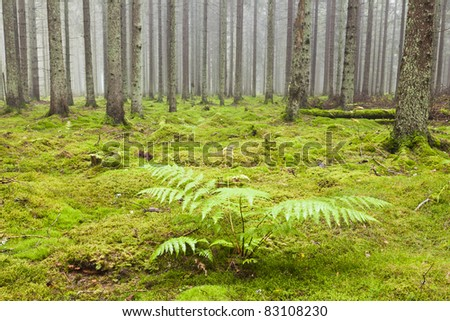 Spruce tree in the forest with morning mist and Bracken plant - stock photo