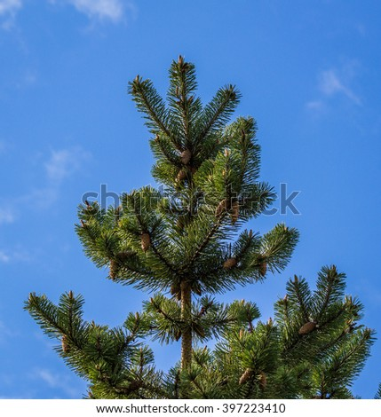 Spruce tree with cones  - stock photo
