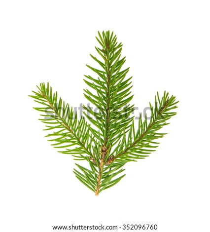 Spruce twig isolated on white background. Evergreen plant - stock photo