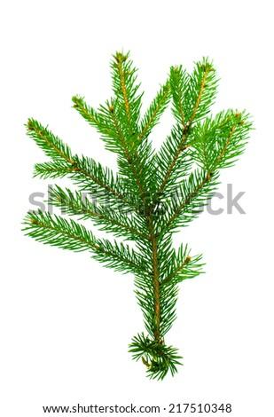 spruce twig on white background - stock photo