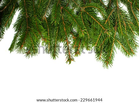 spruce twigs on a white background - stock photo