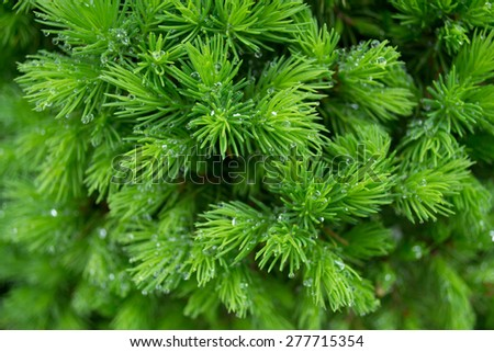 spruce with drops of water