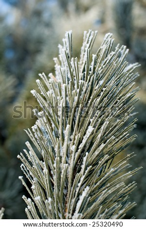 Spruce with iced snow background texture