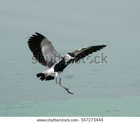 Spur-winged Lapwing Plover Landing - stock photo