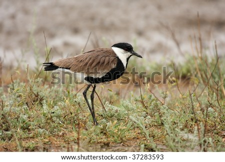 Spur-winged Lapwing (Vanellus spinosus) - stock photo