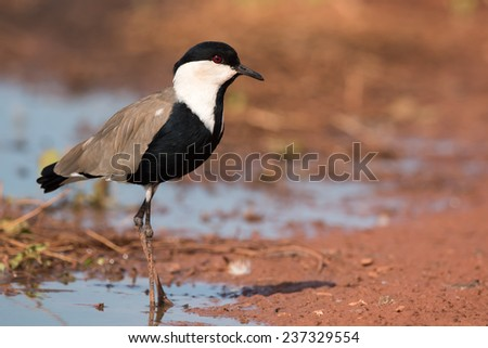 Spur-Winged Lapwing (Vanellus spinosus) standing on the edge of a pond - stock photo