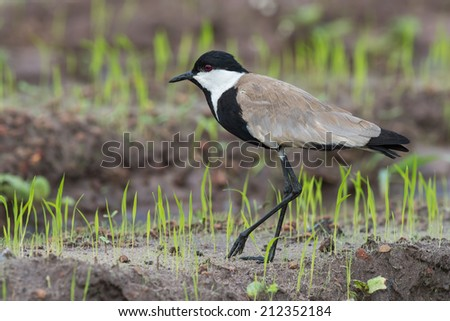 Spur-Winged Lapwing (Vanellus Spinosus) walking along new shoots of rice - stock photo