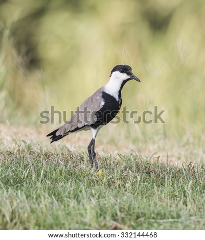 Spur-winged plover lapwing vanellus spinosus stood in grass - stock photo