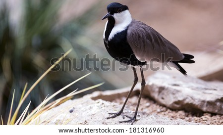 spur-winged plover shore bird - stock photo