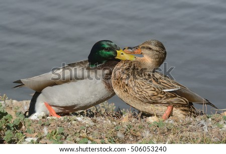 Squabble Between Male And Female Mallard Ducks On Edge Of Lake