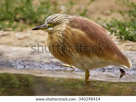 squacco heron (Ardeola ralloides)         - stock photo