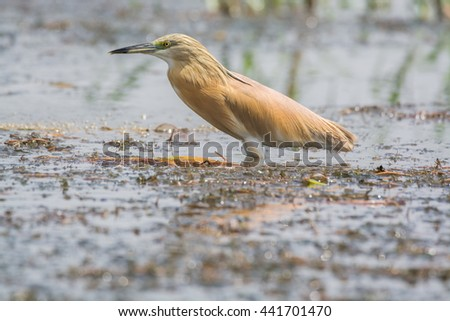 Squacco Heron bird - stock photo