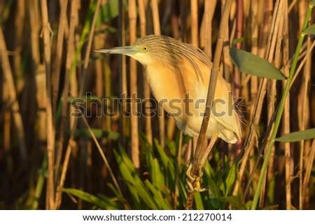 Squacco Heron near Reed in Danube Delta - stock photo