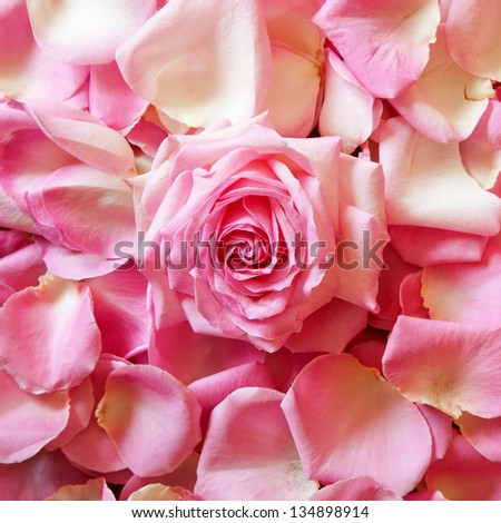 square background picture of pink rose petals with a rose bloom in the middle