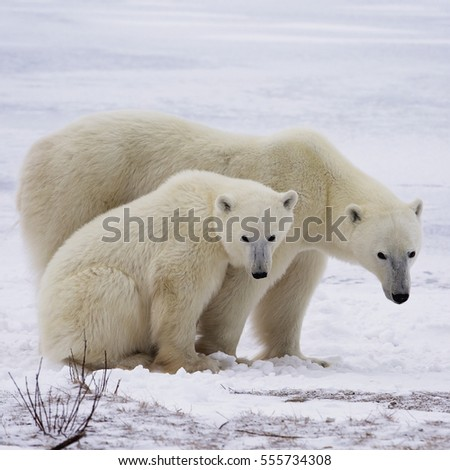 Square, close up image of a sow with her cub.  Late autumn in Churchill, Manitoba, Canada.