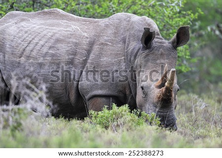 Square-lipped Rhinoceros (Ceratotherium simum) in the Amakhala Game Reserve, Eastern Cape, South Africa.