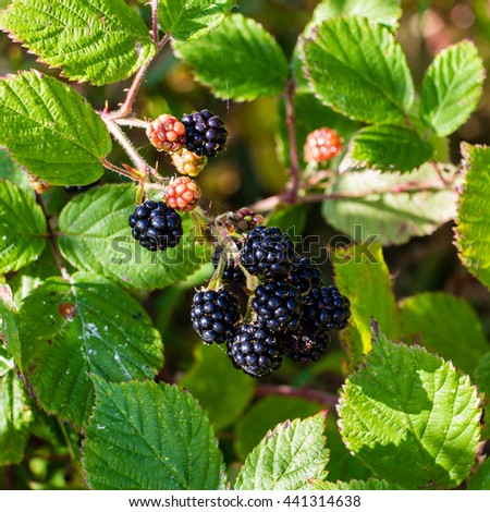 Square pic of a bunch of wild ripe, black and red, blackberry hanging from a vine branch with a background of green leaves hit by dappled light on a sunny day near Eilean Donnan castle in Scotland.