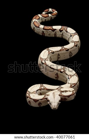 Square tail Columbian red-tailed boa (Boa constrictor constrictor) isolated on black background. - stock photo