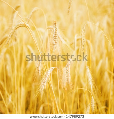 Squared photo of golden wheat field
