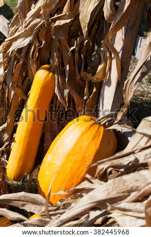 squashes and dried corn stalks - stock photo