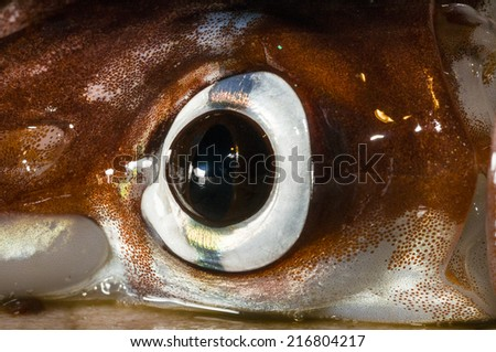 Squid Eye close-up with visible Chromatophores